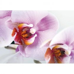 Detalhe de Orquídea Branco e Lilá