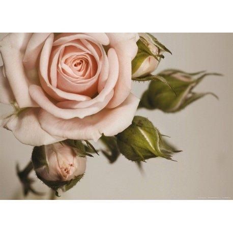 Detalhe de Rosa Rosa Florida