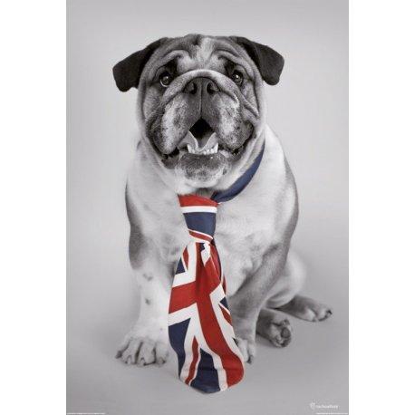 Cão Pitbull com Elegância Britânica