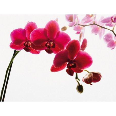 Delicada Orquídea em Lilá e Rosa