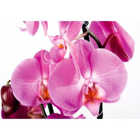 Orquídea Rosa Doce e Delicada