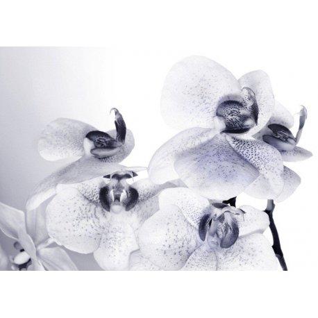 Orquídeas Brancas Pontos Azuis