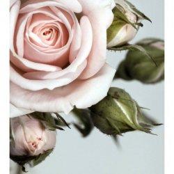 Delicado Detalhe de Rosa Rosae