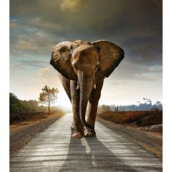 Elefante Africano sobre Asfalto