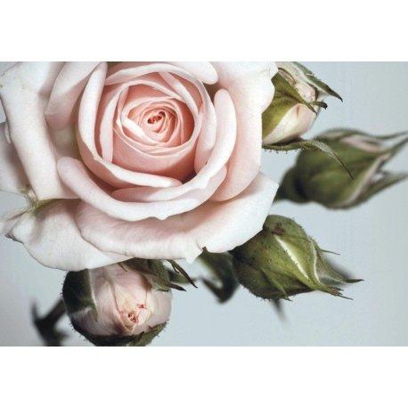 Detalhe da Delicadeza da Rosa