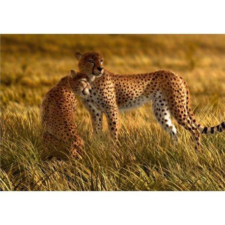 Casal de Leopardos da Savana