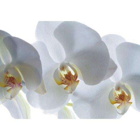 Delicadas Orquídeas em Branco